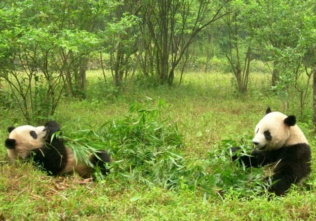 pandas_two_pandas_china_sichuan_panda_research_eating_bamboo-1410990